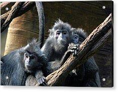 Monkey Trio Acrylic Print by Karol Livote