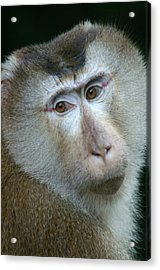 Monkey With A Heart Shaped Face Acrylic Print by Jessica Rose
