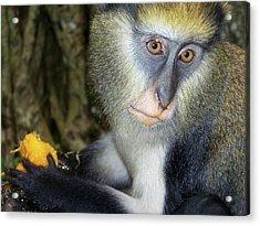 Monkey With His Mango Acrylic Print