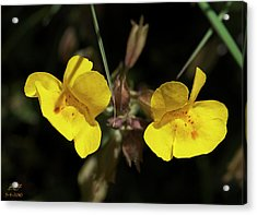 Monkeyflowers Acrylic Print