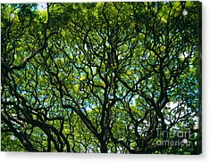 Monkeypod Canopy Acrylic Print by Peter French - Printscapes