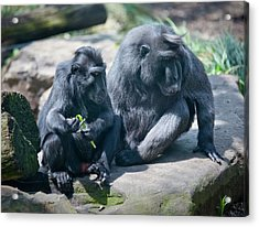 Monkeys Acrylic Print by Christina Durity