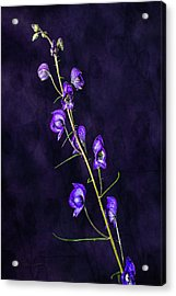 Monkshood Version 2 Acrylic Print