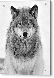 Monotone Timber Wolf  Acrylic Print by Tony Beck
