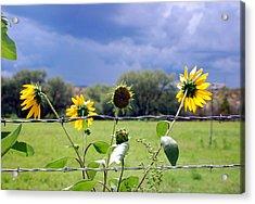 Monsoon Sunflowers Acrylic Print by Heather S Huston