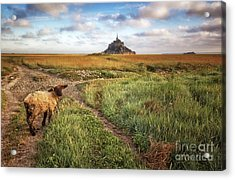 Mont Saint Michel's Sheep Acrylic Print