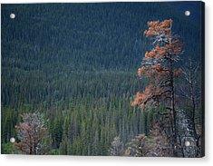 Montana Tree Line Acrylic Print