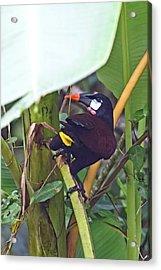 Acrylic Print featuring the photograph Montezuma Oropendola by John Haldane