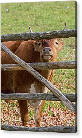 Acrylic Print featuring the photograph Moo by Bill Wakeley