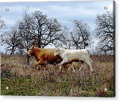 Moo On The Run Acrylic Print by James Granberry