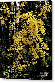 Moon Maple 2 Acrylic Print