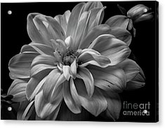 Acrylic Print featuring the photograph Moonlit Dahlia by Chris Scroggins