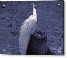 Acrylic Print featuring the photograph Moonlit Peacock by Roxy Riou