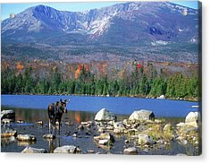 Moose And Mount Katahdin Acrylic Print