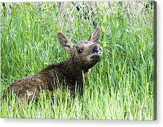 Moose Baby Acrylic Print