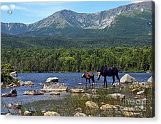 Moose Baxter State Park Maine 2 Acrylic Print