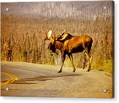 Moose Crossing Acrylic Print