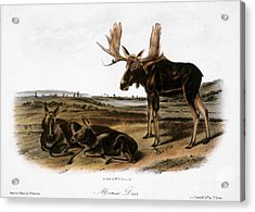 Moose Deer (cervus Alces) Acrylic Print by Granger