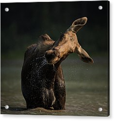 Moose Drool // Glacier National Park  Acrylic Print