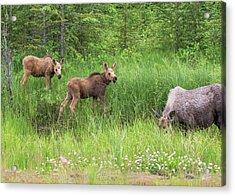 Moose Family Acrylic Print