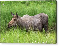 Moose In Tall Grass Acrylic Print