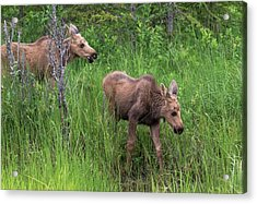 Moose In The Field Acrylic Print