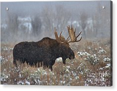 Acrylic Print featuring the photograph Moose In The Fog by Adam Jewell
