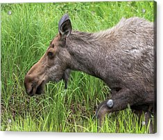 Moose In The Pond Acrylic Print