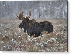 Acrylic Print featuring the photograph Moose In The Snowy Brush by Adam Jewell