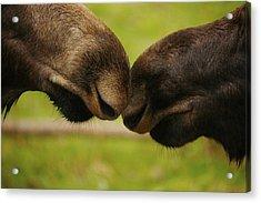 Moose Nuzzle Acrylic Print