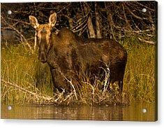 Moose Of Prong Pond Acrylic Print