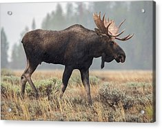 Moose On A Mission Acrylic Print