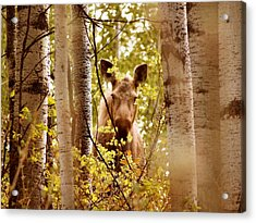 Acrylic Print featuring the photograph Moose Peek-a-boo by Adam Owen