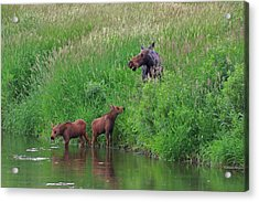 Moose Play Acrylic Print
