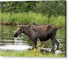Acrylic Print featuring the photograph Moose Pond by Adam Owen