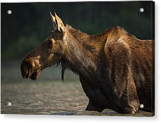 Moose Portrait // Glacier National Park  Acrylic Print