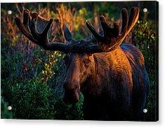 Moose Sunrise Acrylic Print