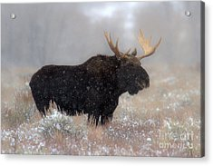 Acrylic Print featuring the photograph Moose Winter Silhouette by Adam Jewell