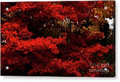 More About Maple Acrylic Print
