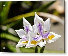 More Lilies Acrylic Print