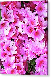 More Pink Azaleas Acrylic Print