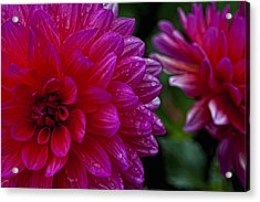 More Serious Magenta Acrylic Print by Robert Ullmann