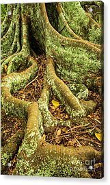 Acrylic Print featuring the photograph Moreton Bay Fig by Werner Padarin