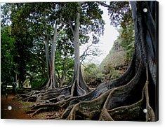 Moreton Bay Figs Acrylic Print by Michael Palmer