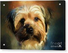 Morkie Portrait Acrylic Print