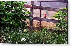 Morning Cardinal Acrylic Print
