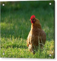 Morning Chicken Acrylic Print