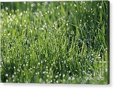 Morning Dew 1 Acrylic Print