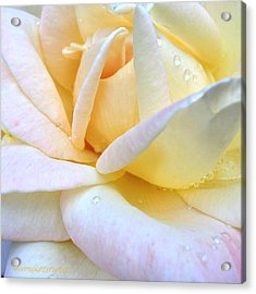 Morning Dew On A Pale Yellow Rose Acrylic Print