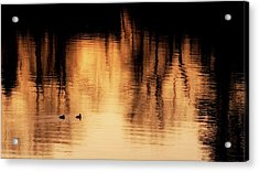 Acrylic Print featuring the photograph Morning Ducks 2017 by Bill Wakeley